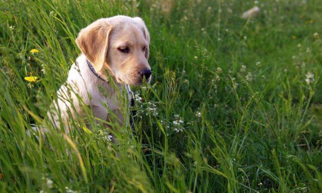 Poklanjam štenad Labradora